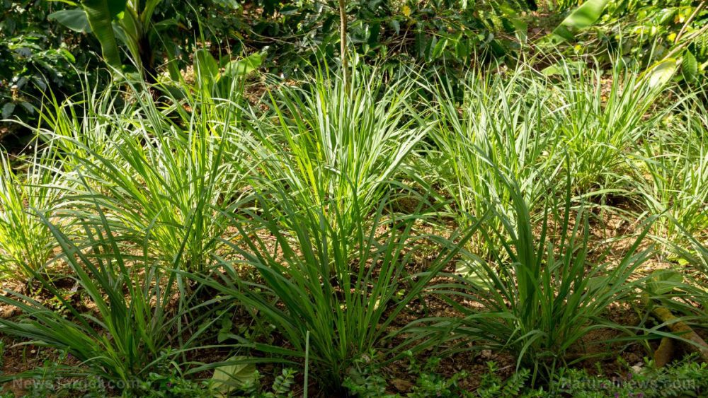 Lemongrass is known for its many health benefits – anxiety relief is now one of them
