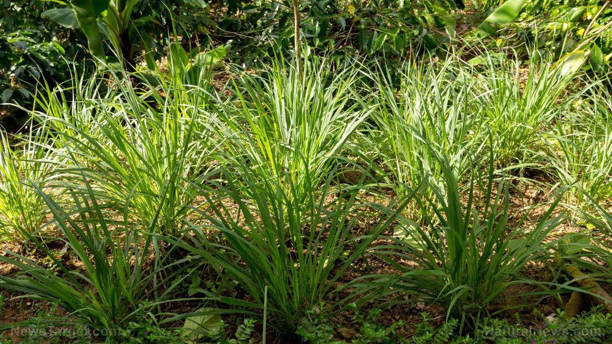 Lemongrass: An extraordinary medicinal herb with a refreshing, citrusy scent