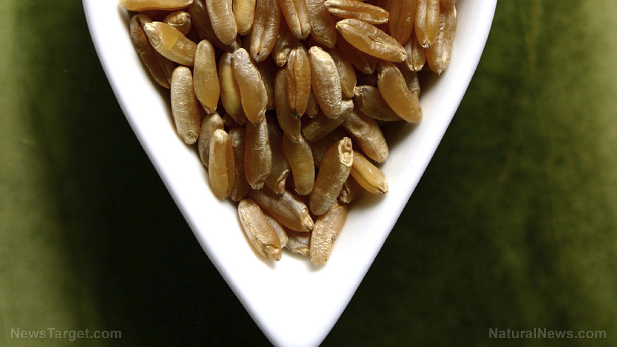 Kamut: Rediscovering an ancient grain for modern diets